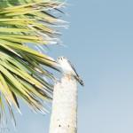 Birds and Birding: American kestrel (white morph)