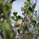 Birds and Birding: Zapata sparrow