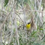 Birds and Birding: Common yellowthroat