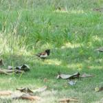 Birds and Birding: Chestnut mannikin