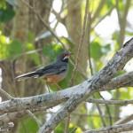 Birds and Birding: Red-legged thrush