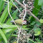 Birds and Birding: Cuban green woodpecker