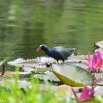 Birds and Birding: Purple gallinule