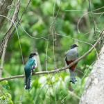 Birds and Birding: Cuban trogon