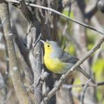 Birds and Birding: Oriente warbler