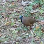 Birds and Birding: Blue-headed quail-dove