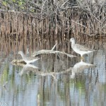 Birds and Birding: Greater and Lesser yellowlegs