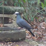 Birds and Birding: White-crowned pigeon