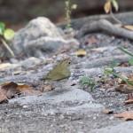 Birds and Birding: Ovenbird