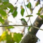 Birds and Birding: Cuban tody