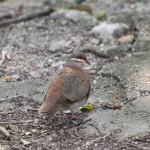 Birds and Birding: Key West quail-dove