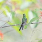 Birds and Birding: Cuban emerald