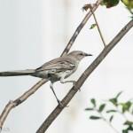 Birds and Birding: Bahama mockingbird