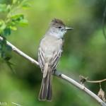 Birds and Birding: La Sagra's flycatcher