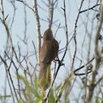 Birds and Birding: Zapata wren