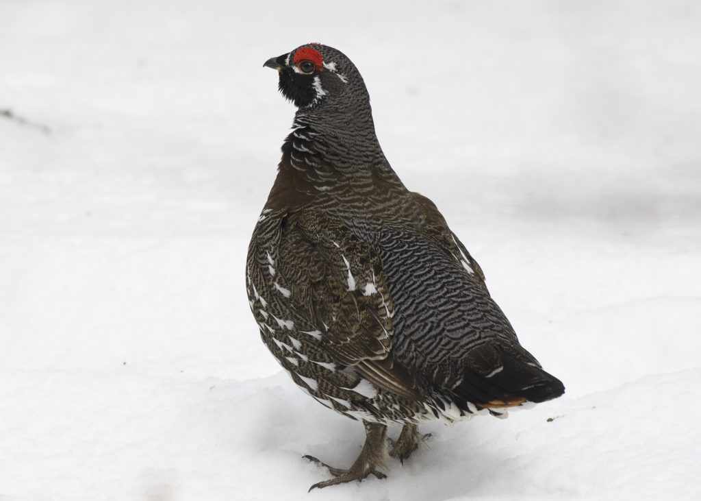 Spruce Grouse - April Showers