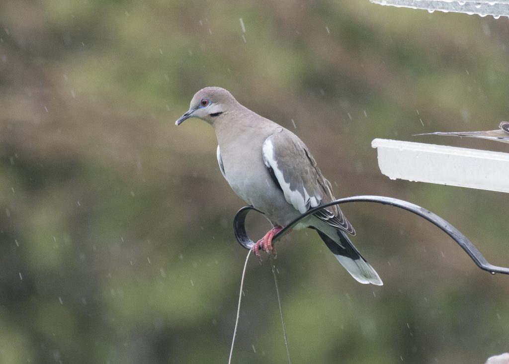 White-winged Dove - April Showers