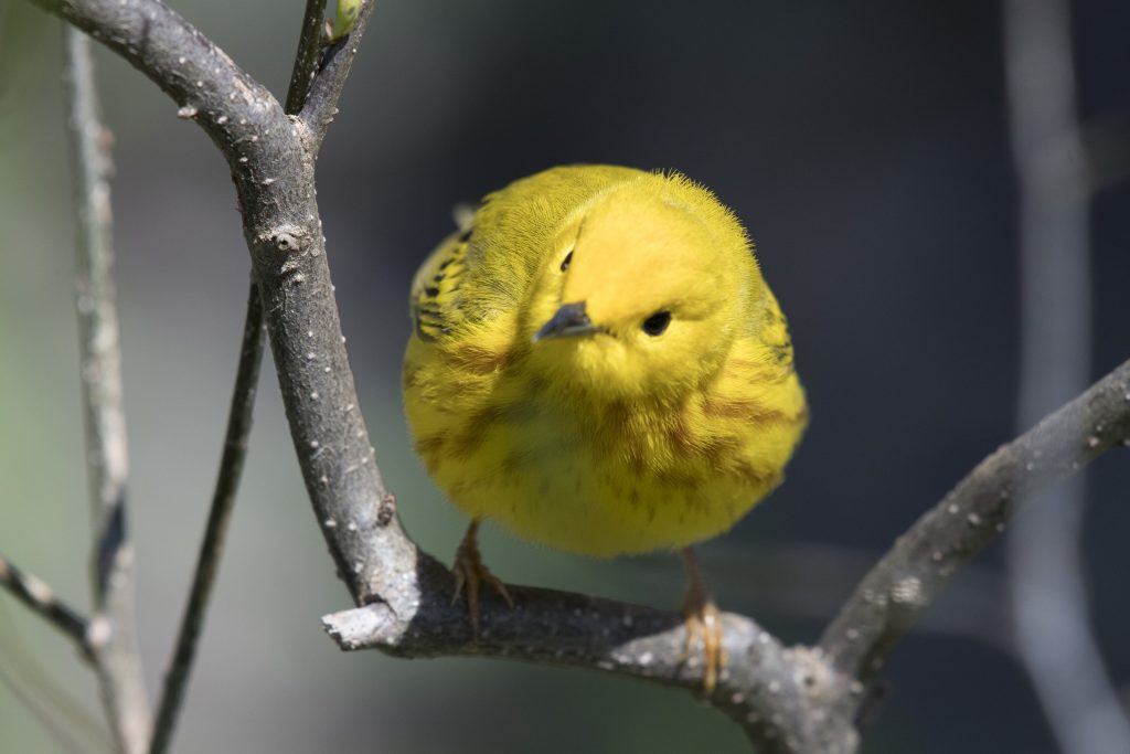 Northern Yellow Warbler - Biggish Year 2018