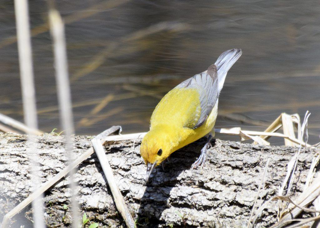 Prothonotary Warbler - Biggish Year 2018