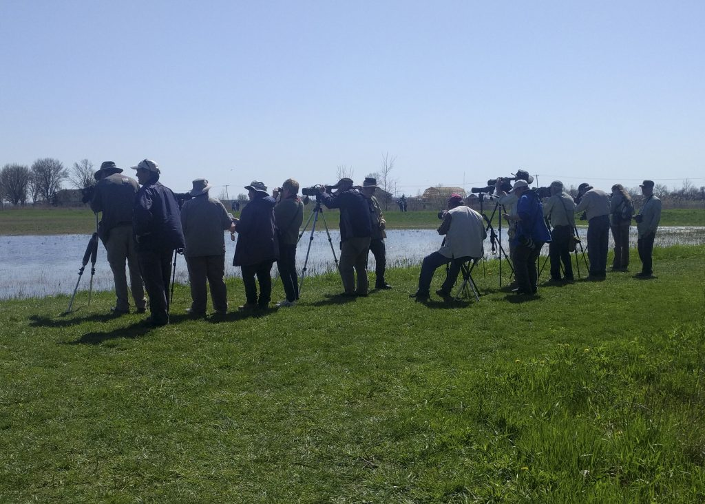 Avocet Twitch - Hillman Marsh