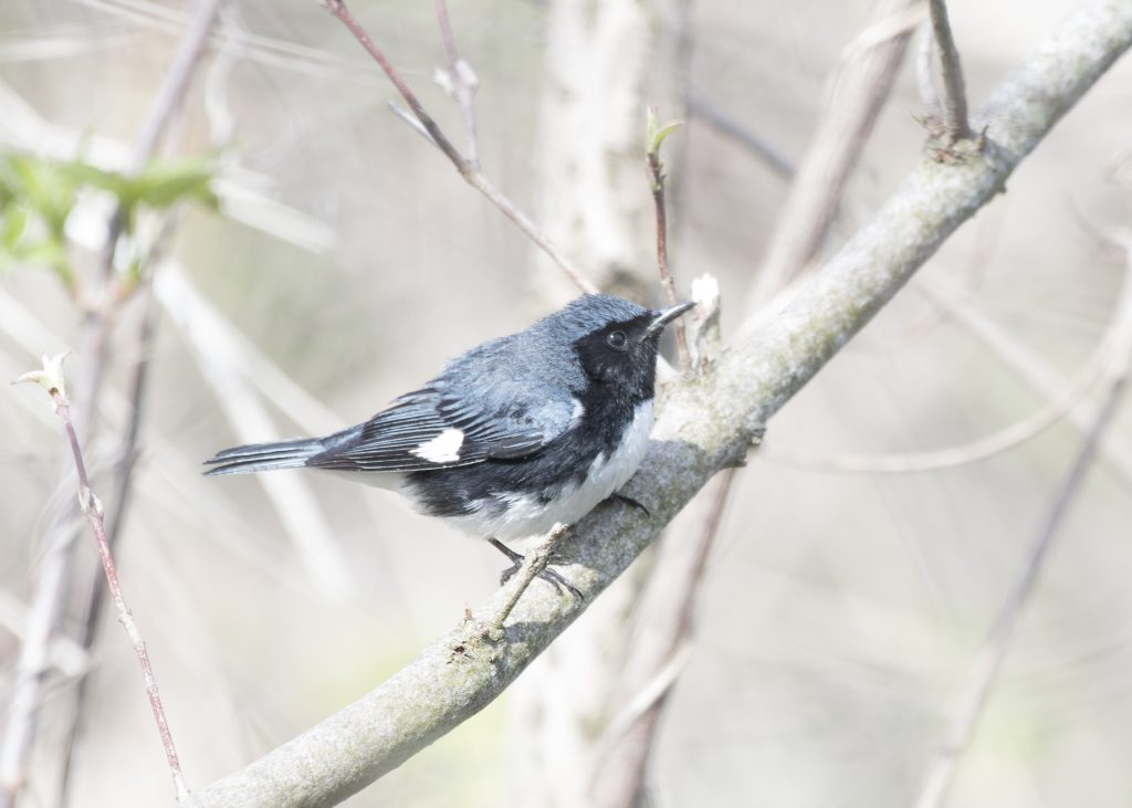 Black-throated Blue Warbler - Biggish Year 2018