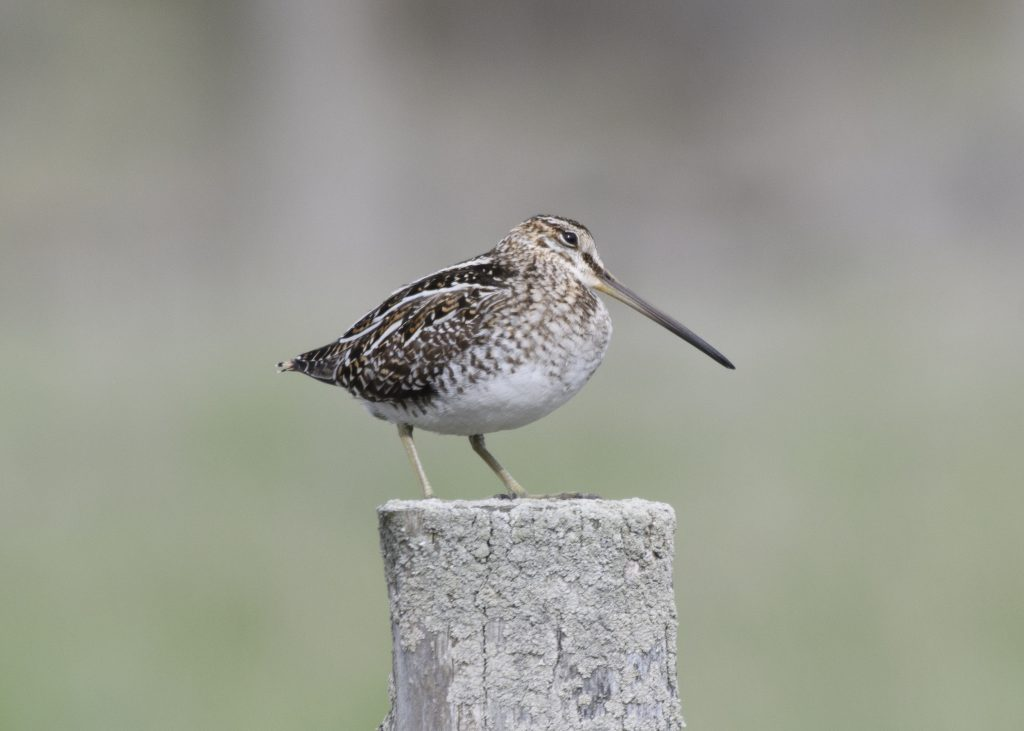 Wilson's Snipe - Biggish Year 2018