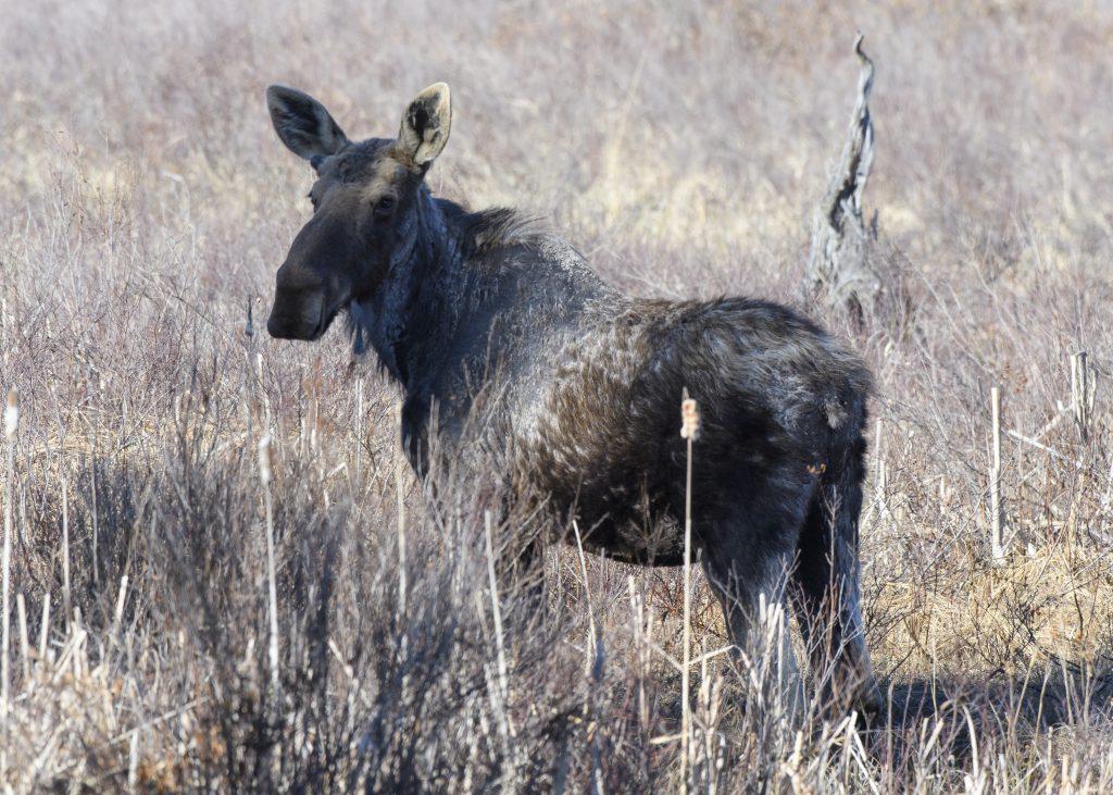 Moose - Biggish Year 2018