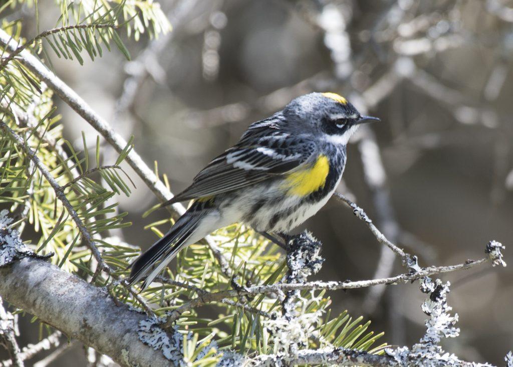Yellow-rumped Warbler - Biggish Year 2018