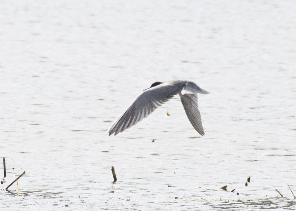 Black Tern - Biggish Year 2018