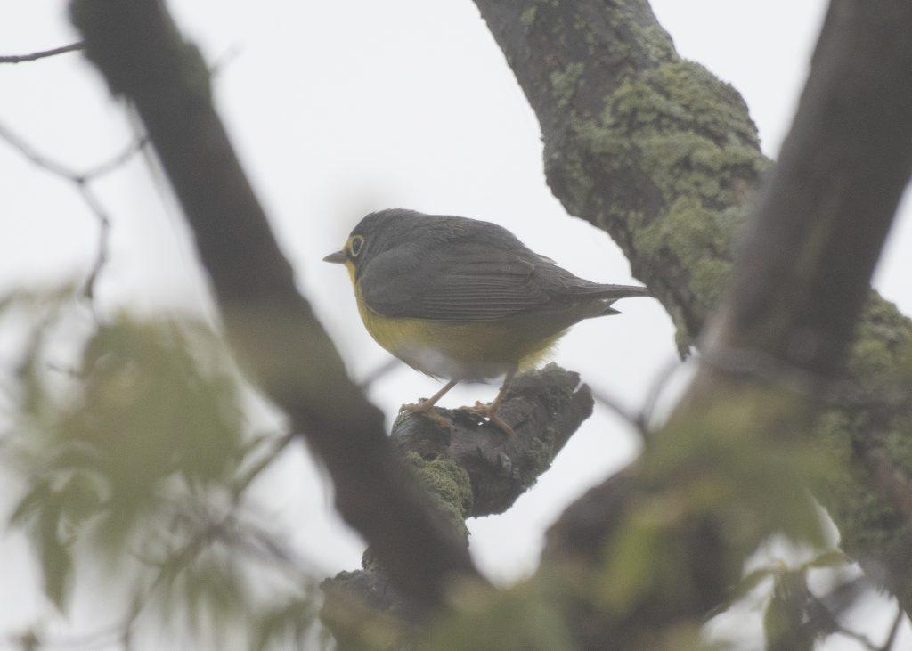 Canada Warbler - Biggish Year 2018