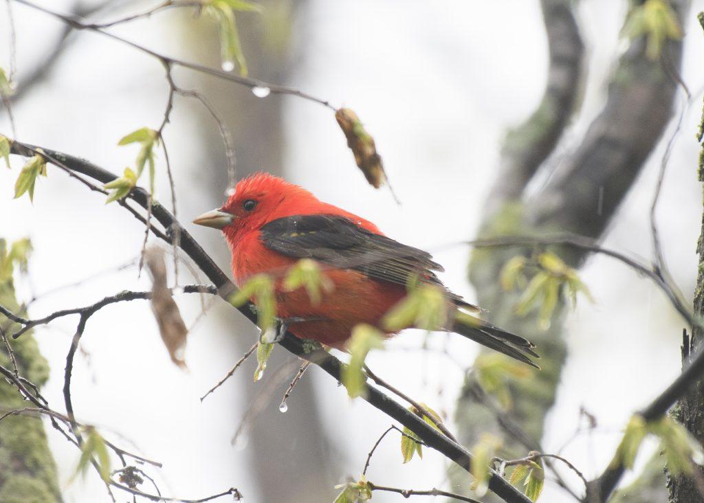 Scarlet Tanager - Biggish Year 2018