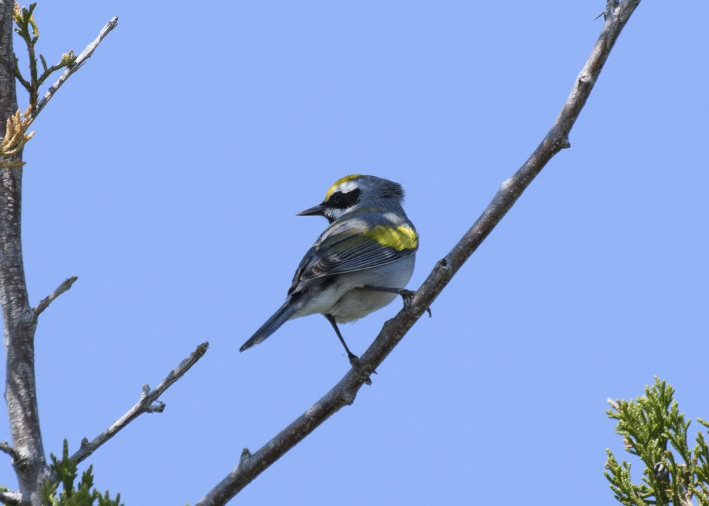 Golden-winged Warbler- Biggish Year 2018