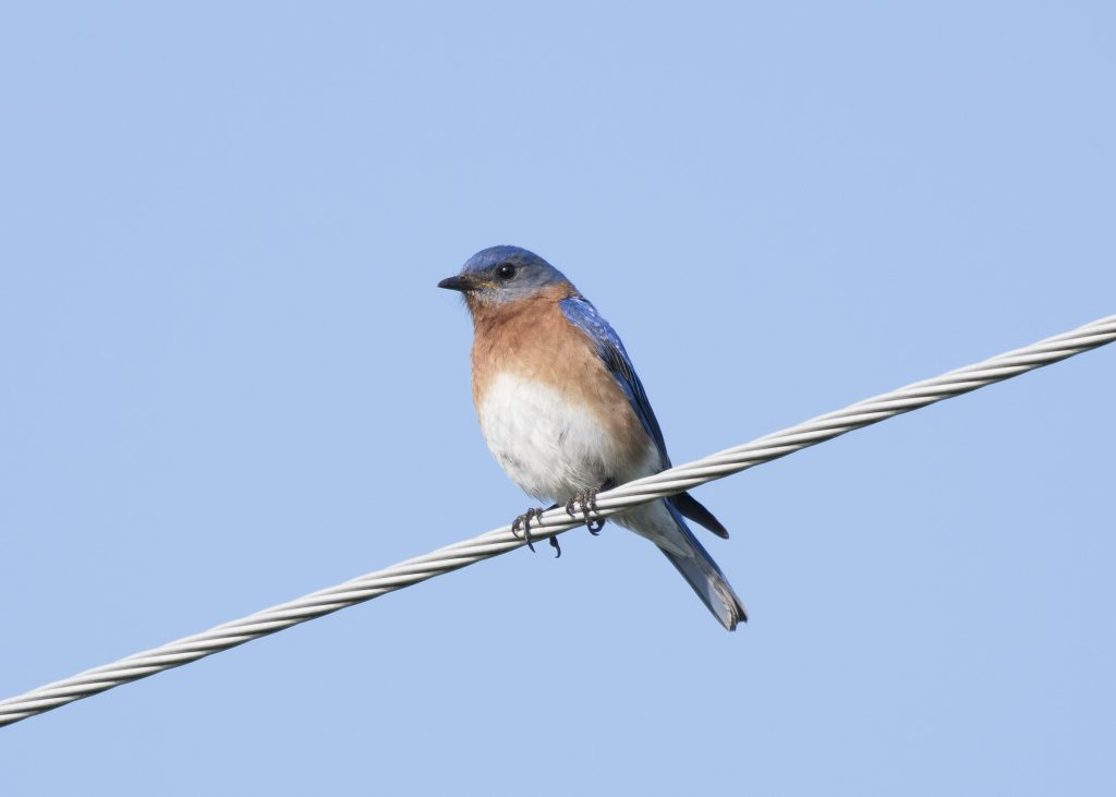 Eastern Bluebird - Biggish Year 2018