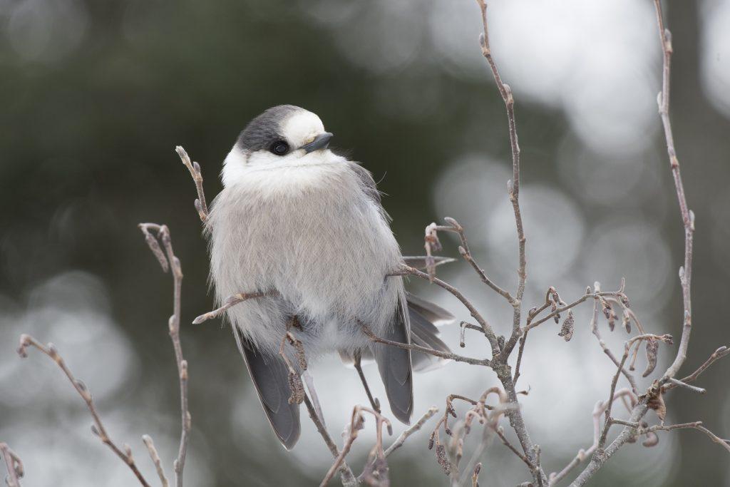 Canada Jay - Biggish Year 2018