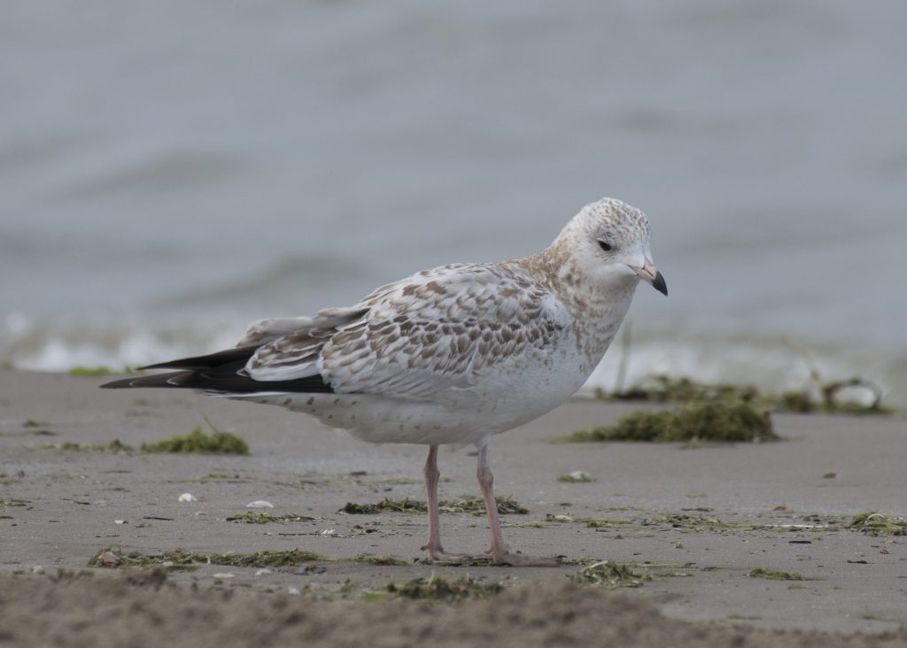 Presqu'ile - Juvenile Ring-billed Gull (first cycle)