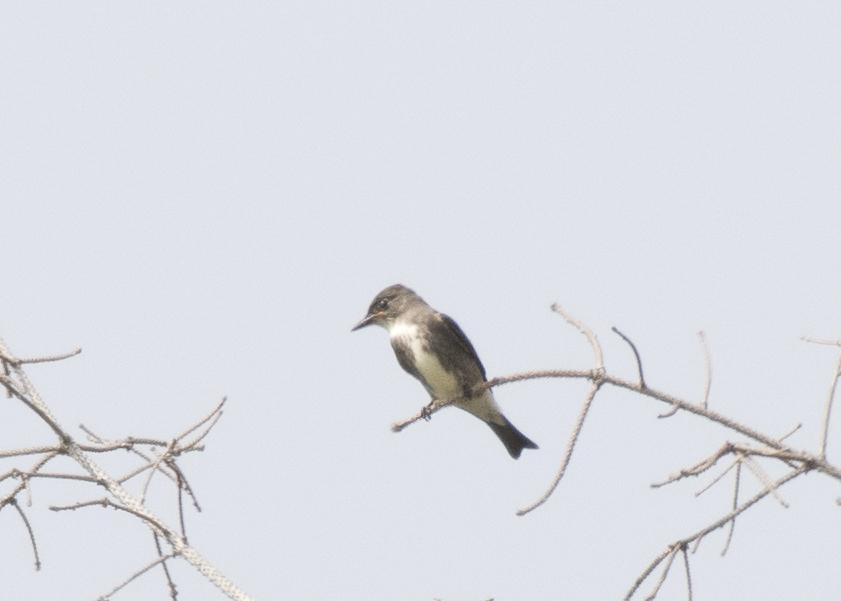 Presqu'ile - Olive-sided Flycatcher
