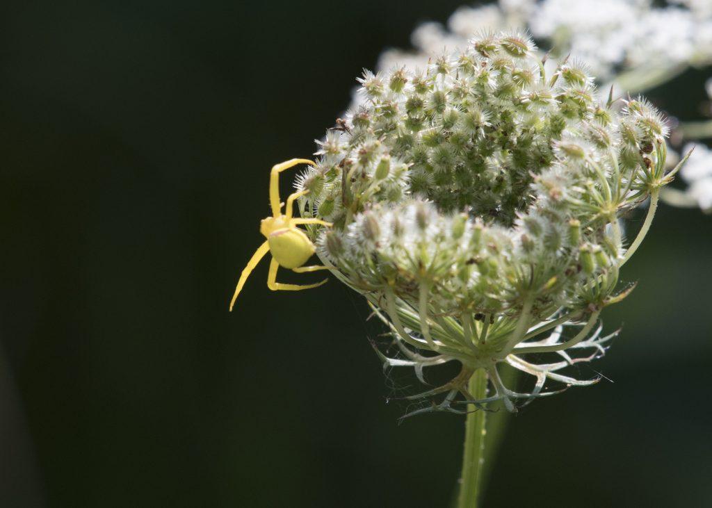 Presqu'ile - Goldenrod Crab Spider