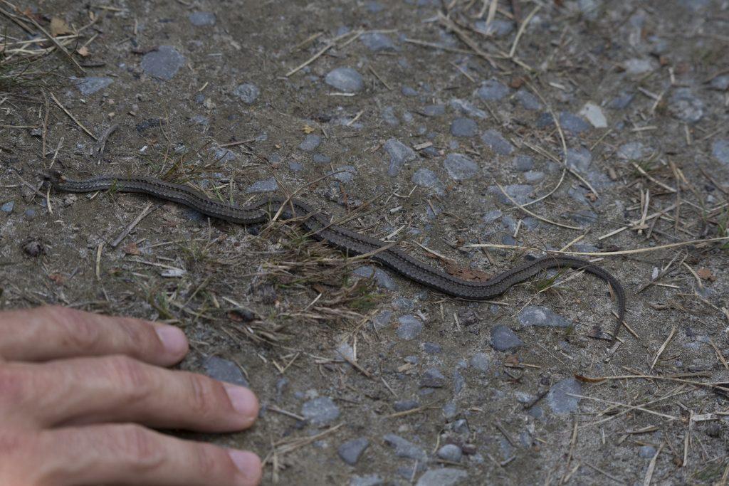 Presqu'ile - Red-bellied Snake