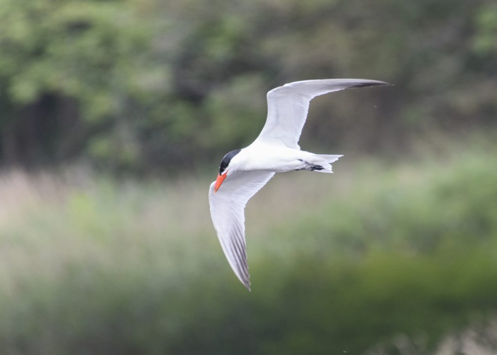 Effort - Caspian Tern