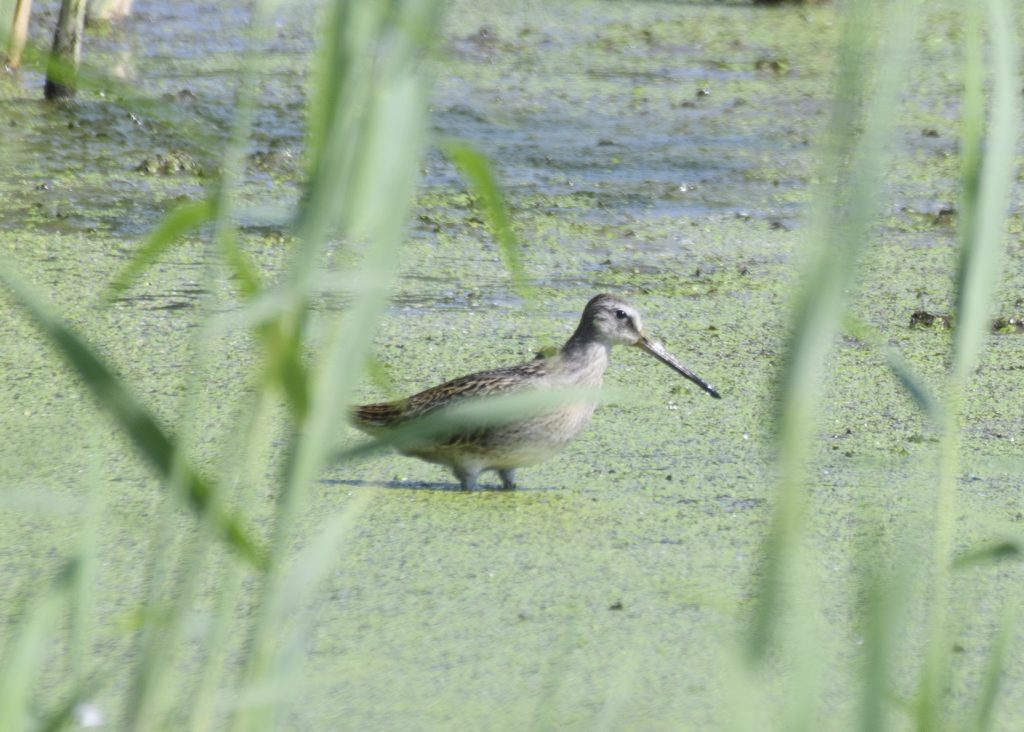 Effort - Short-billed Dowitcher