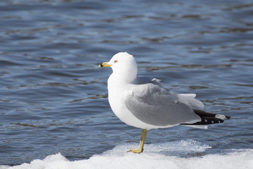 Bird: Ring-billed Gull
