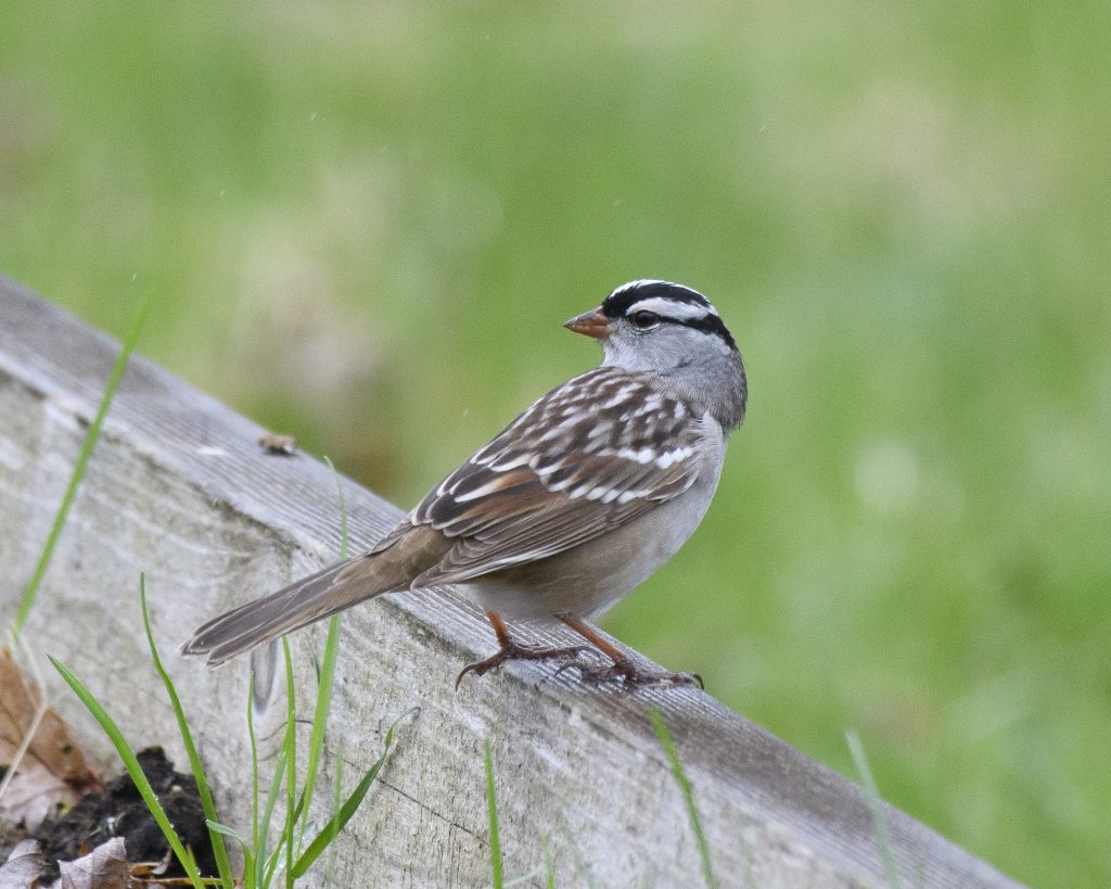 Bird: White-crowned Sparrow