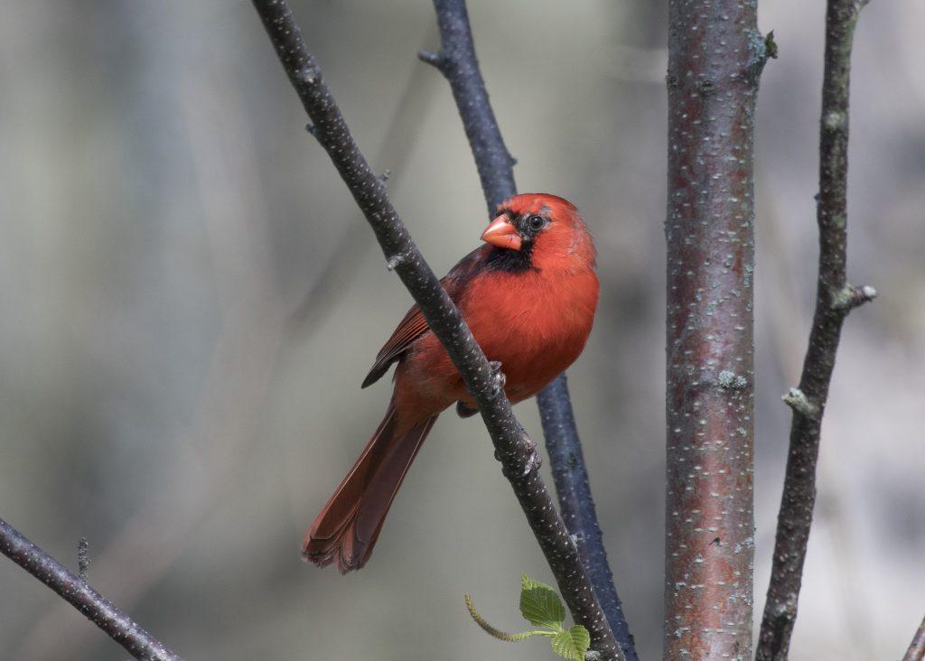 Bird: Northern Cardinal