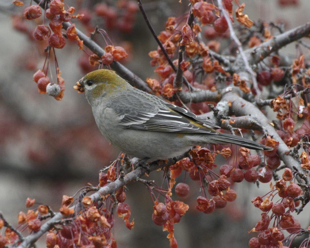 Bird: Pine Grosbeak
