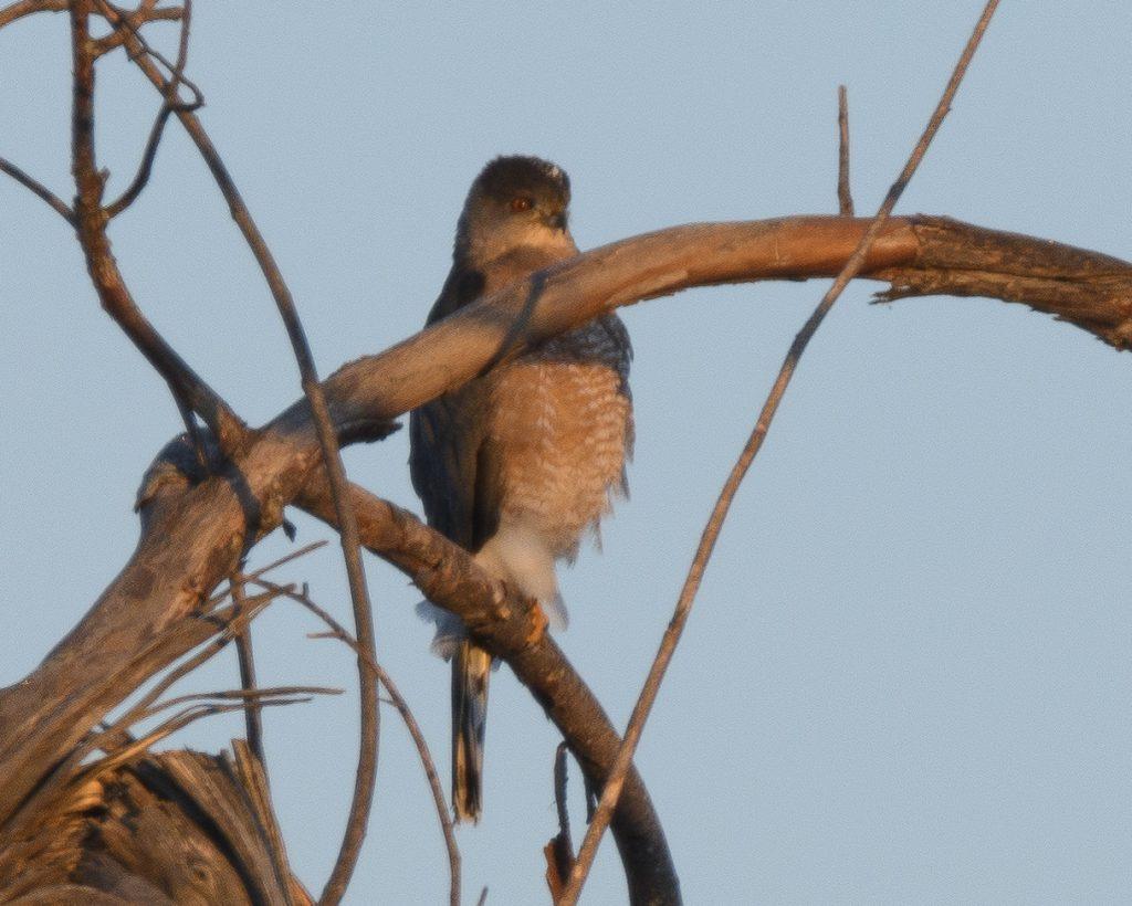 Bird: Cooper's Hawk