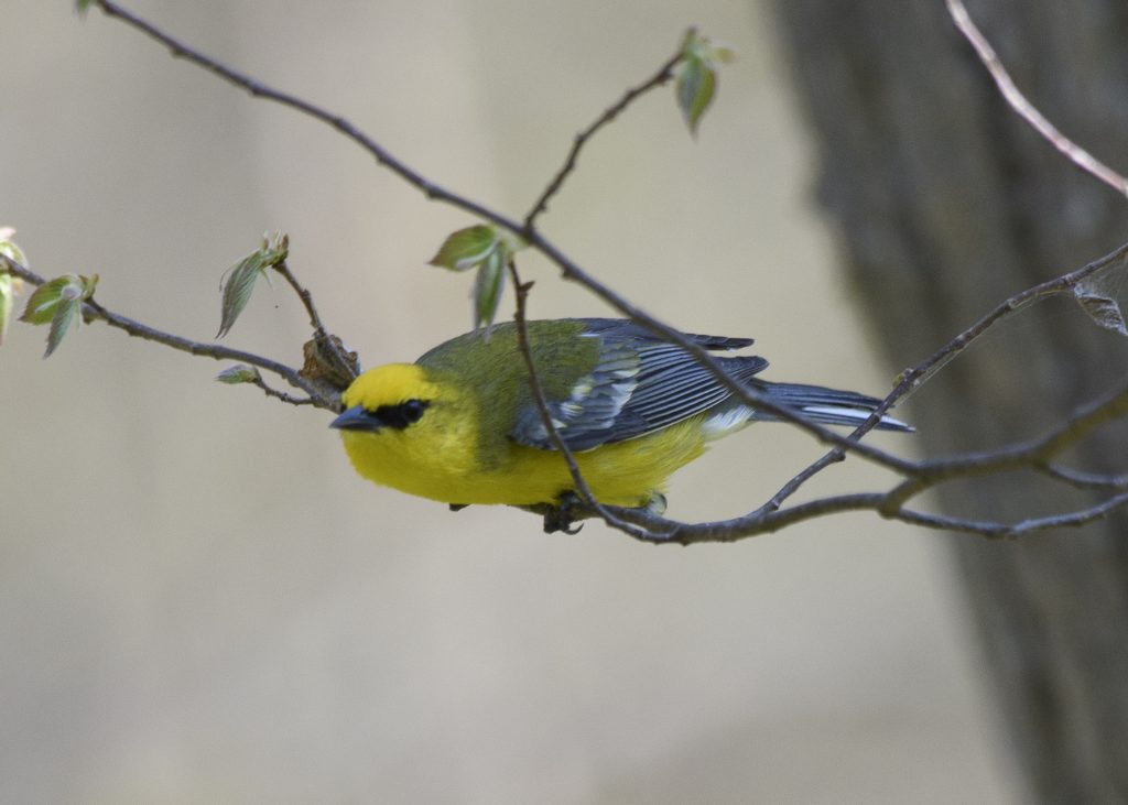 Birding at Point Pelee