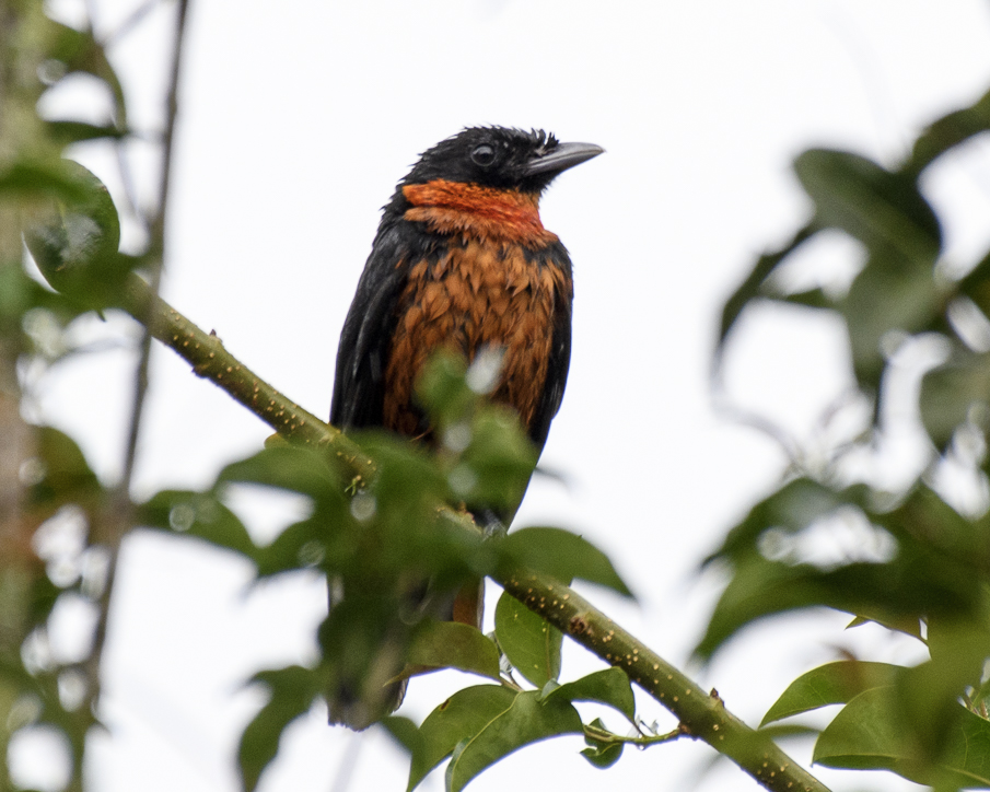 BIRDING THE CENTRAL AND WESTERN ANDES - TRIP REPORT