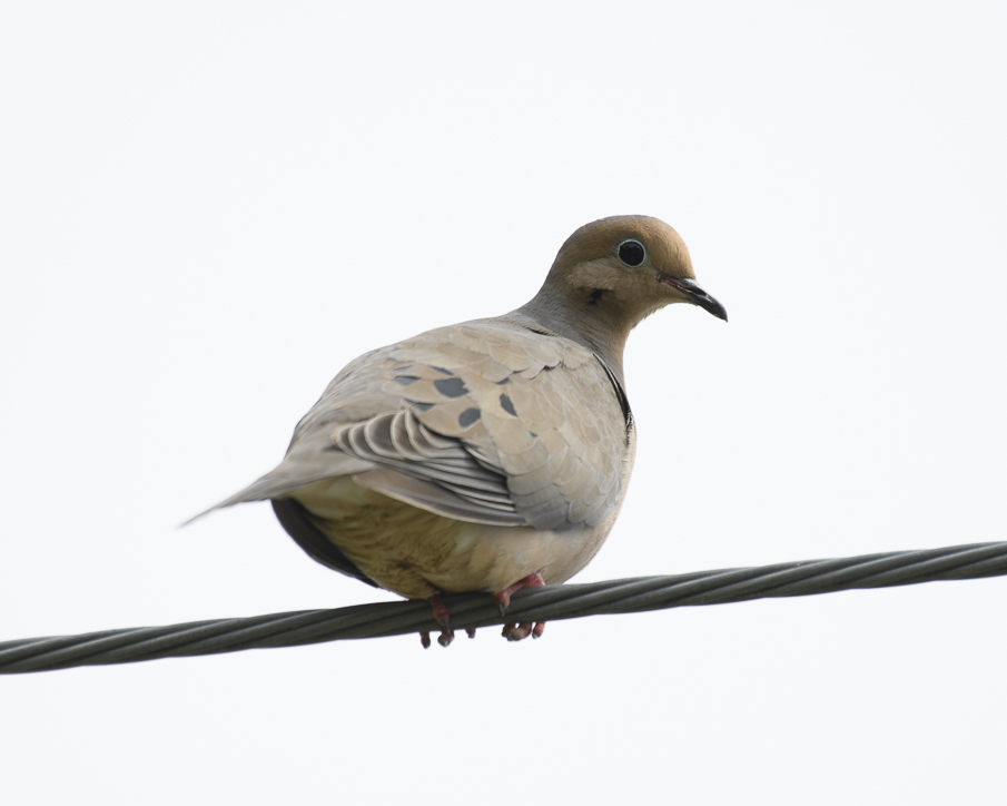 exposure compensation - mourning dove