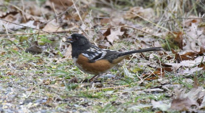 Spotted Towhee – A Proper November Twitch