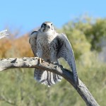 Arizona wildlife: Prairie falcon